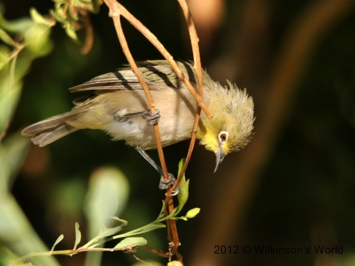 Orange River-white-eye