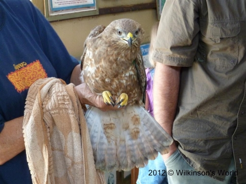 Steppe Buzzard ready for ringing