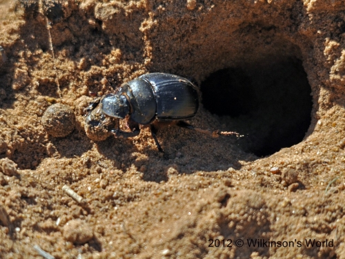 Dung beetle hole