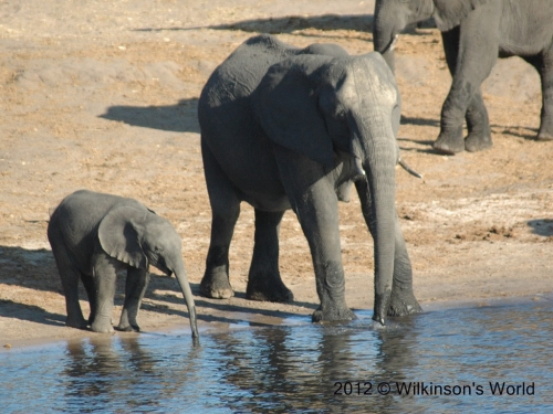 Mother and baby - Chobe