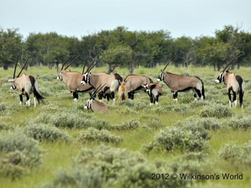 A group of Gemsbok