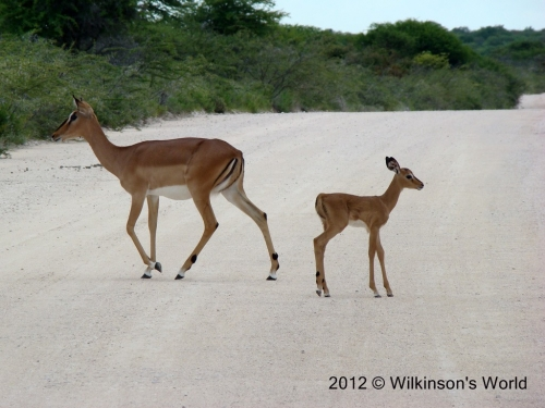 Mother and baby - Black-faced impala