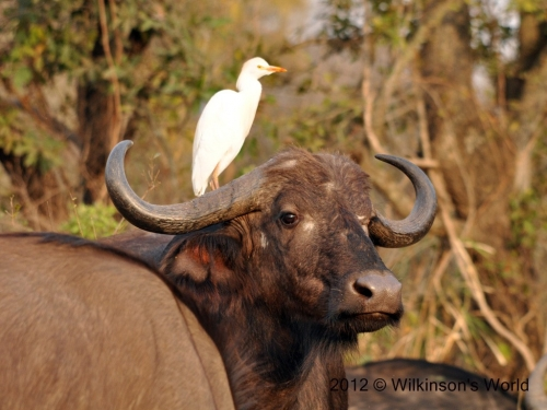 Cattle-egret - a healthy partnership
