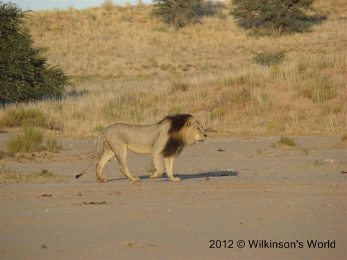 Red-maned lion in Kgalagadi