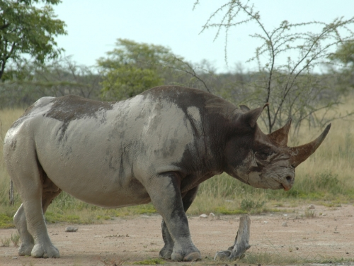 Black rhino - prehensile lip easily visible