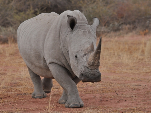 White rhino - broad flat lip