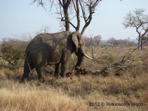 African elephant at Kruger National Park