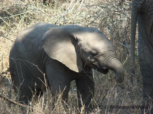 Baby elephant at Kruger National Park