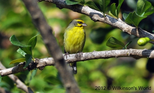 Yellow-fronted canaryy