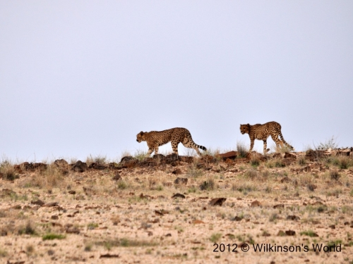 Cheetah pair near Spitzkoppe