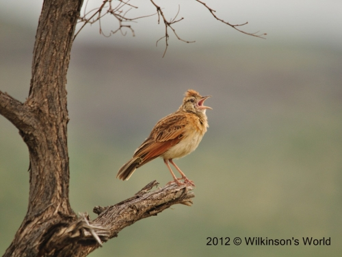 Rufus-naped lark - such a sweet song