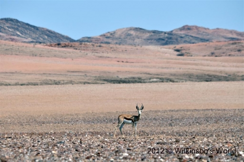 Springbok on the road to Orupembe