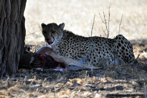 Cheetah with a kill