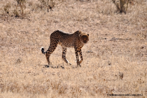Natural born culler - a cheetah