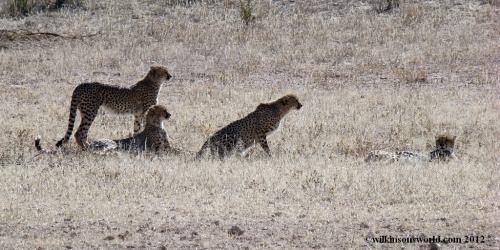 Group of four cheetahs