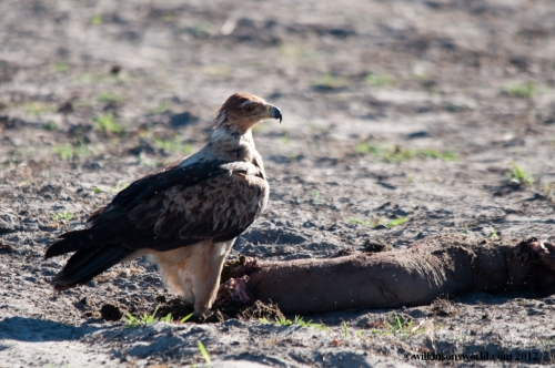 Tawny eagle joins the feast