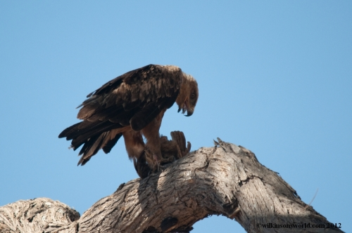 Tawny eagle catches a francolin