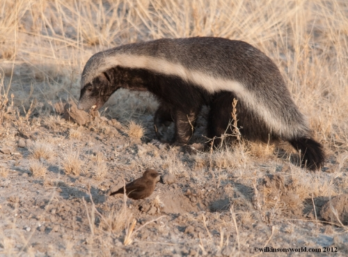 Honey Badger followed by an Ant-eating Chat