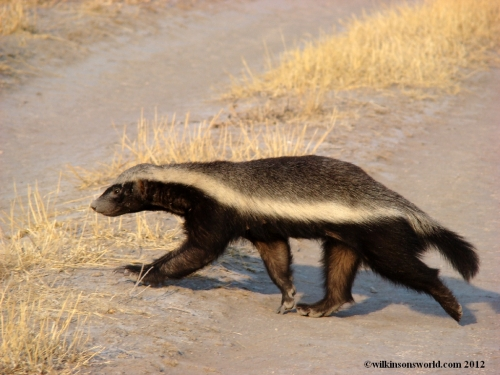 Beautiful specimen of a Honey Badger