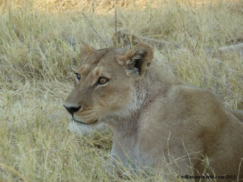 Beautiful lioness