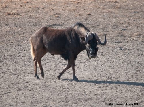 Black wildebeest near the waterhole