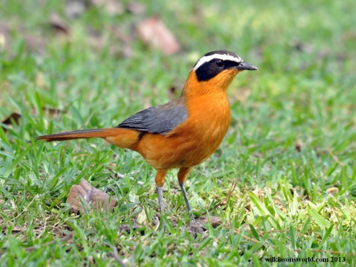 White-browed robin chat