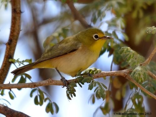 Orange River white-eye