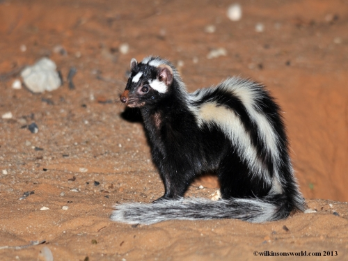 Striped polecat