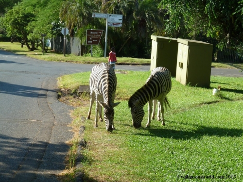 Zebras keeping the grass down on the sidewalk