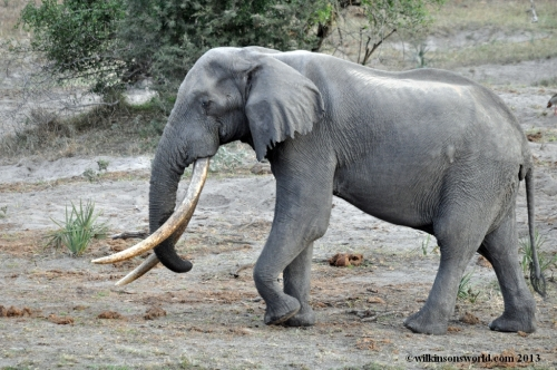 Isilo - the most awesome tusker of them all