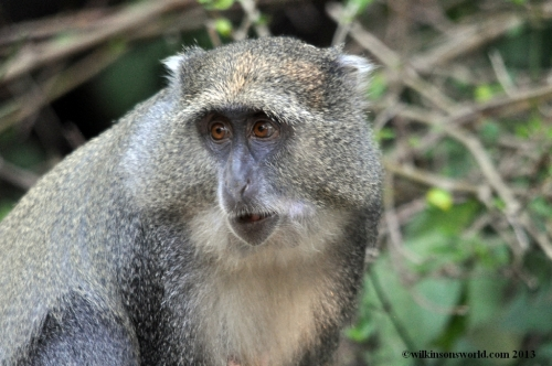 Samango Monkey - Cape Vidal