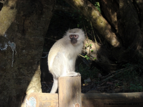 Vervet Monkey - Cape Vidal