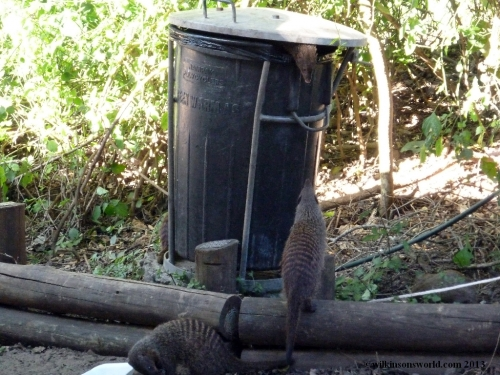 Mongooses raiding the refuse bin