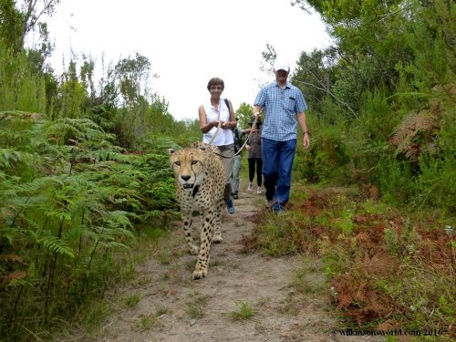Walking the big cat!
