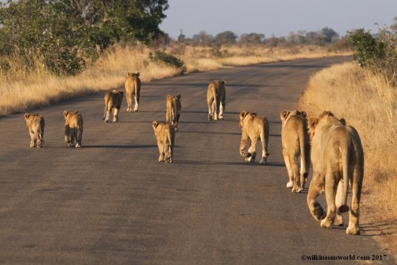 Lion Pride KNP