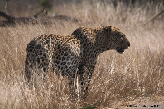 Male Leopard KNP
