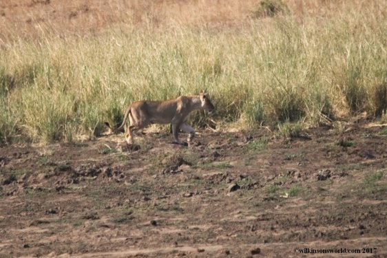 Lioness KNP