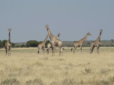Giraffes at Passarge Valley