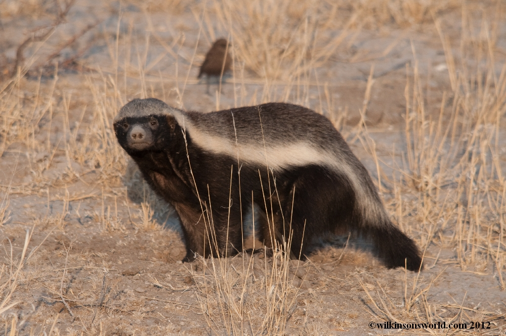 Honey Badgers | Wilkinson's World