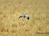 Pale chanting goshawk with a snake