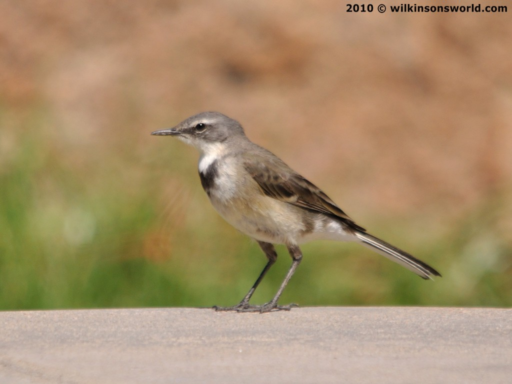 Bird of the week – Week 21 : Cape wagtail | Wilkinson's World