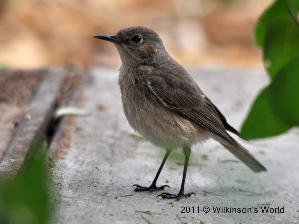 bird of the week week 84 familiar chat wilkinson s world
