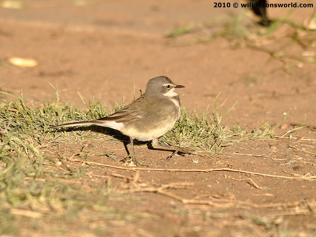 Cape wagtail | Wilkinson's World