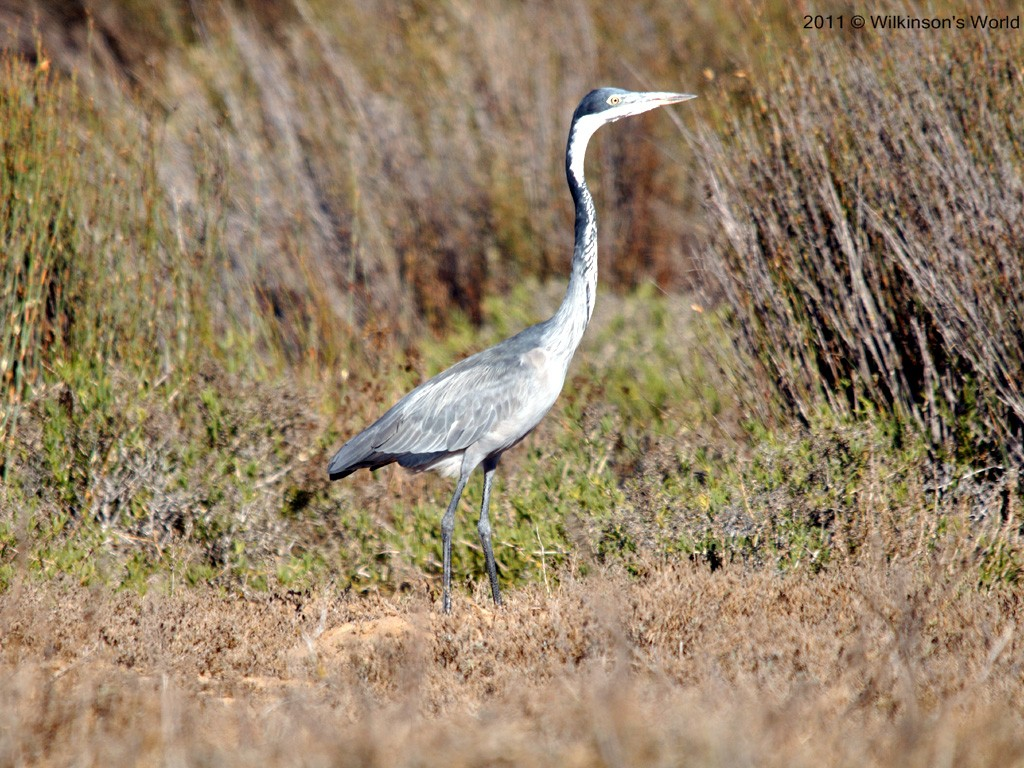 Black headed heron - photo#8