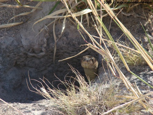 An unwelcome visitor in a squirrel burrow