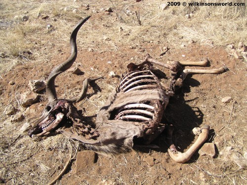 A kudu is a roadside victim