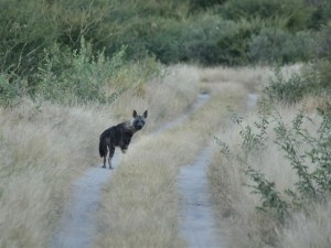 Brown hyena - Deception Valley