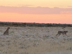 Cheetahs at sunrise - Deception Valley