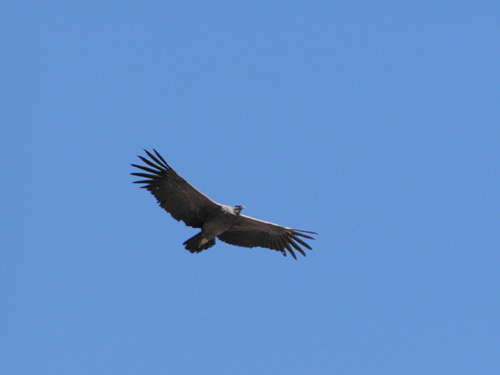 Condor at Colca Canyon