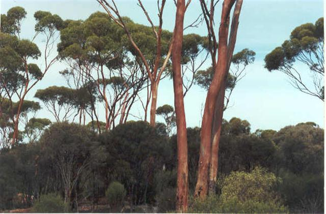Gumtree forest